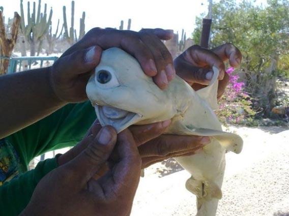 海のサイクロプス?メキシコで巨大な一つ目のサメの胎児が発見される ...