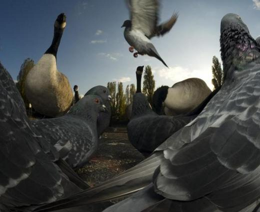 pigeons-and-canada-geese-by-a-london-pond_0