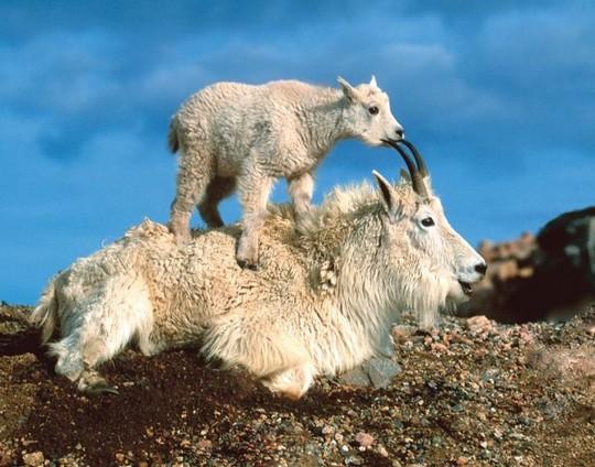 crazy_goats_07