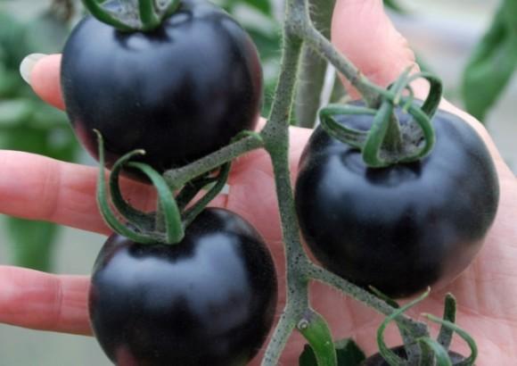 ブラックなのに体に良い。日本でも育てられる黒いトマト「インディゴ・ローズ」