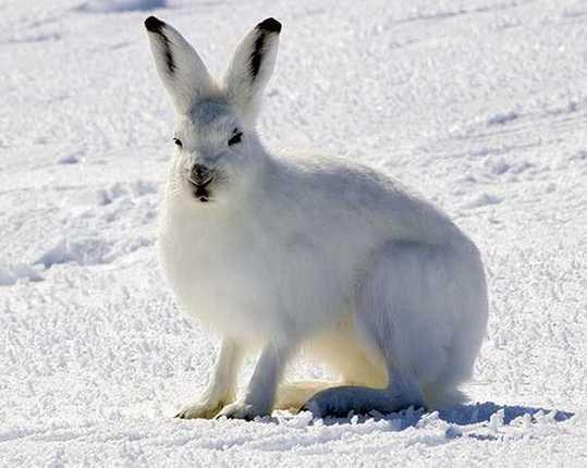 arctic-hares-