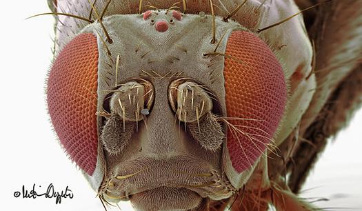 drosophila-melanogaster-54993sig