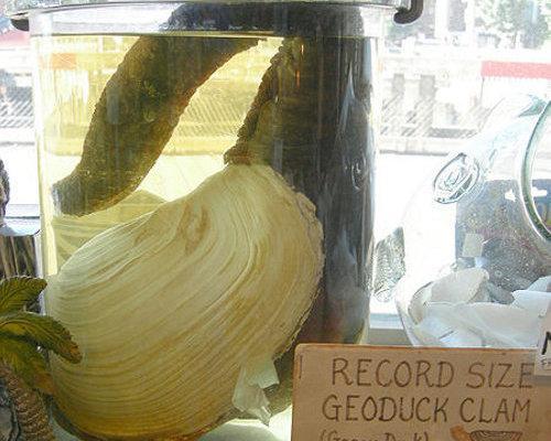 geoduck1
