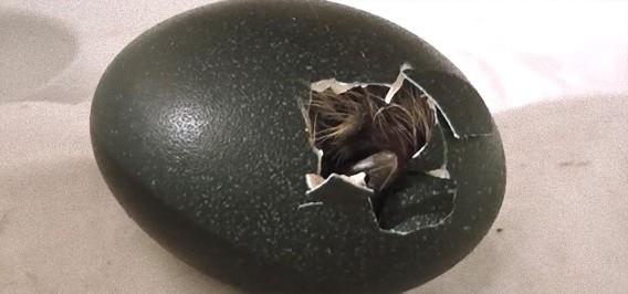 命の誕生:エミューの卵からヒナが孵る感動の瞬間 : カラパイア