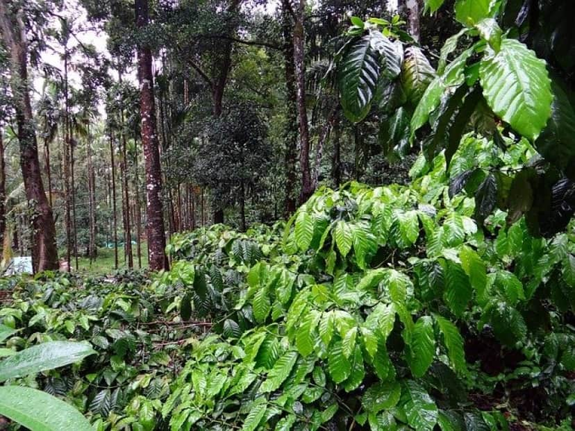 coffee-plantation-345367_640