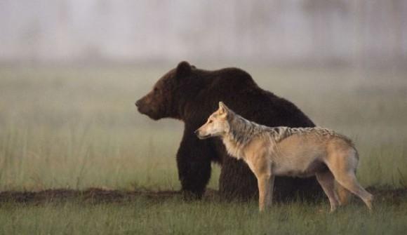 オオカミとクマが最強タッグを組んだ。共に寄り添い餌を分け合って食べるオオカミとクマのカップル