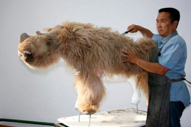 永久凍土が解け、毛が残された状態のケブカサイの子供が発見される(ロシア)