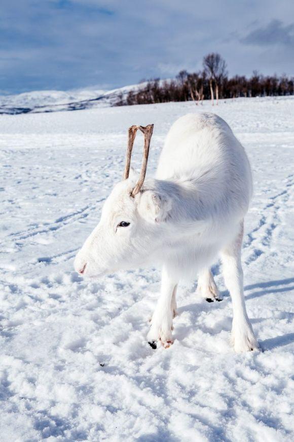 reindeer-2 (1)