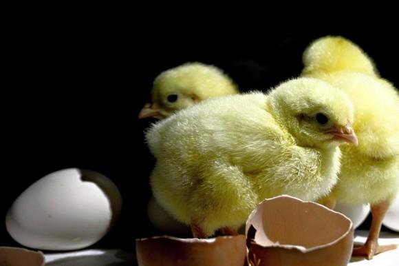もうオスを殺さなくていい。孵化する前にヒヨコの性別を鑑定する画期的方法が考案される(ドイツ)
