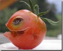 トマトは昆虫を捕食する食虫植物だったことが判明(英国植物研究者)