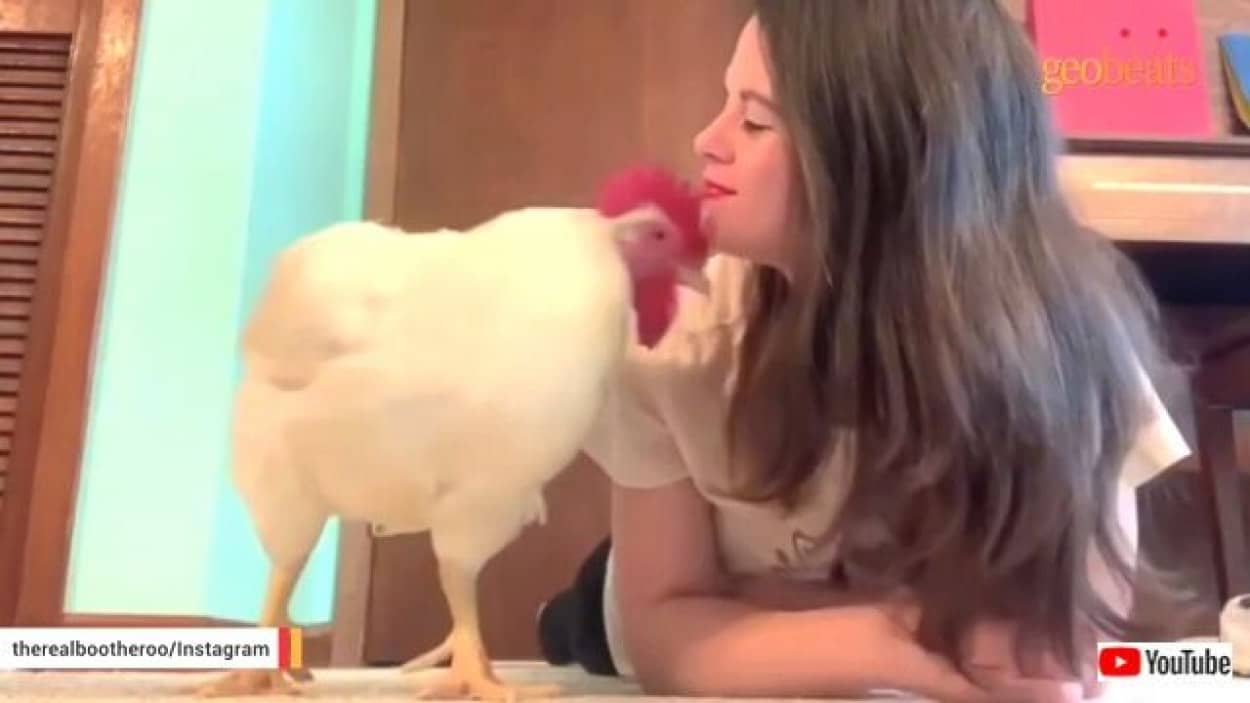 chicken1_640