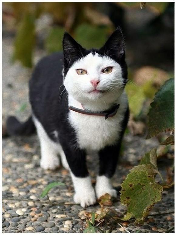白黒猫のチョビ�... Fluffy Tuxedo Cat