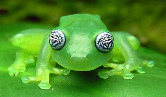 凄腕の魔導士のようなグリグリの目に半透明のボディー。どこまでも魅力的なカエル、「ゴーストグラスフロッグ」