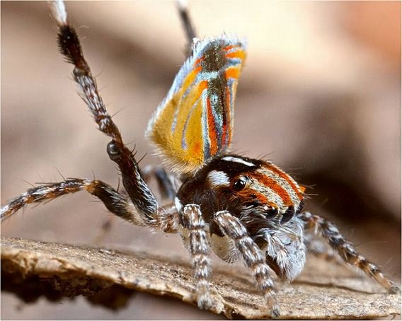 Peacock spider 13
