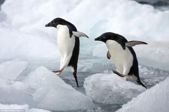 アデリーペンギンの画像 p1_19