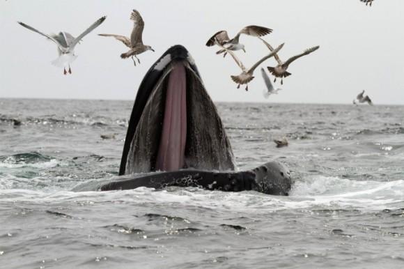 ザトウクジラの画像 p1_11