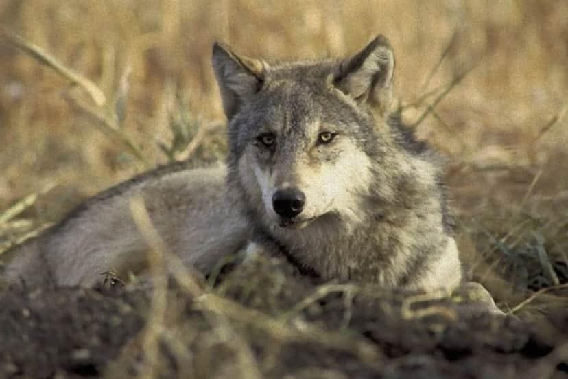 wolf-702820_640_e_e