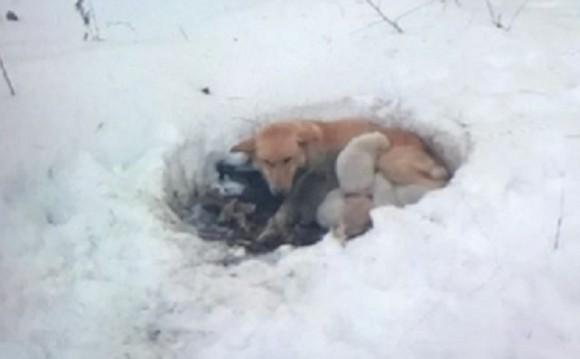 雪に穴を掘り6匹の子犬を寒さから守ろうとした母犬(アメリカ)