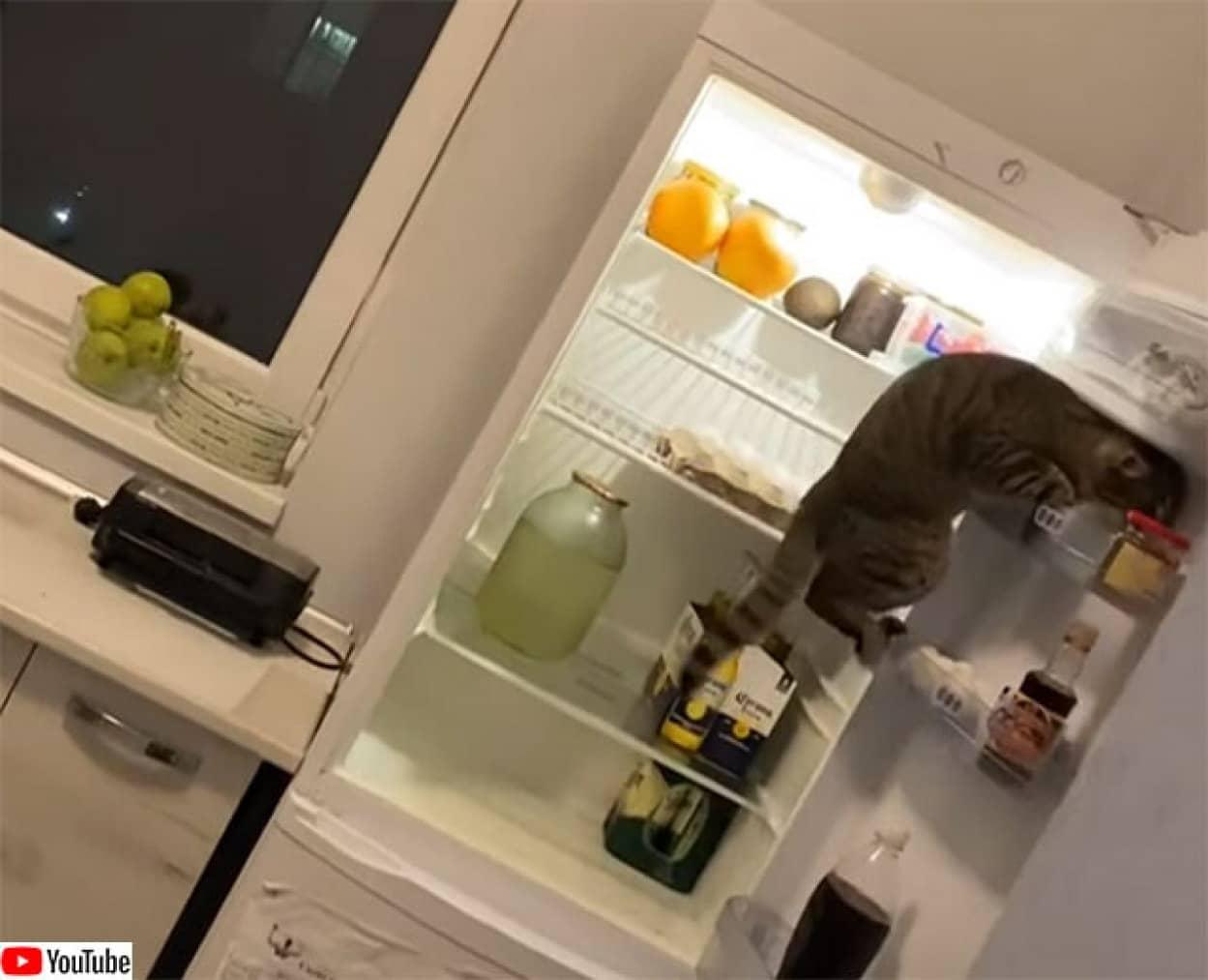 冷蔵庫の中身をチェックしに来る猫