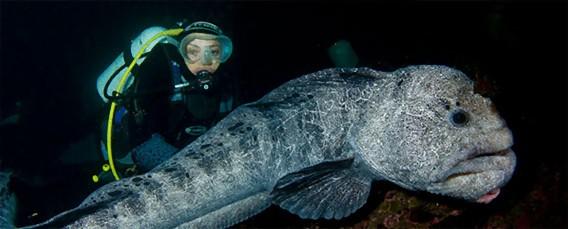 ダイバーたちに人気の海の巨大ゆるキャラ「ウルフ・イール」が結構なつっこい