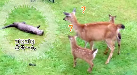 鹿の家族と友だちになりたかったカワウソ、何度も何度でも腹みせゴローン