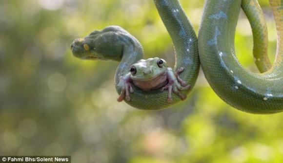 カエルがヘビの体に乗って遊んでいるぞ!?ヘビとカエルの不確かな関係(インドネシア)