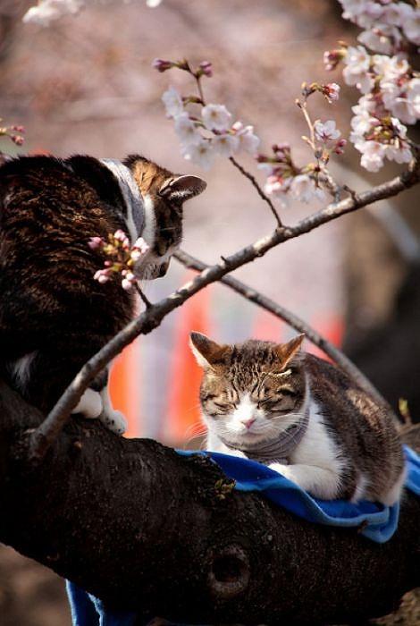 cherry_blossom_tree_cats_20