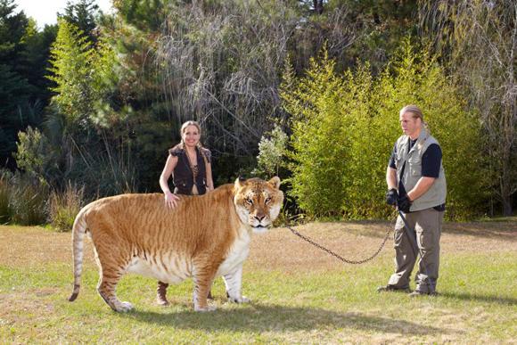 hercules-largest-liger-2969