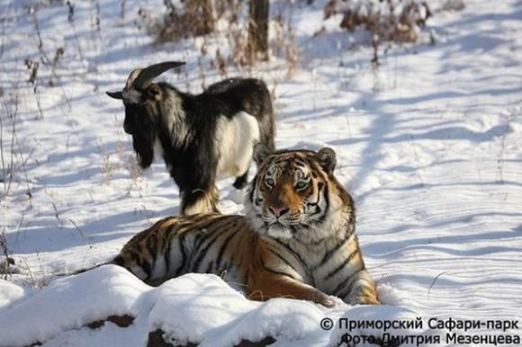 【訃報】餌のつもりが友達に トラと友情を築いたヤギが体調悪化で死亡(ロシア)