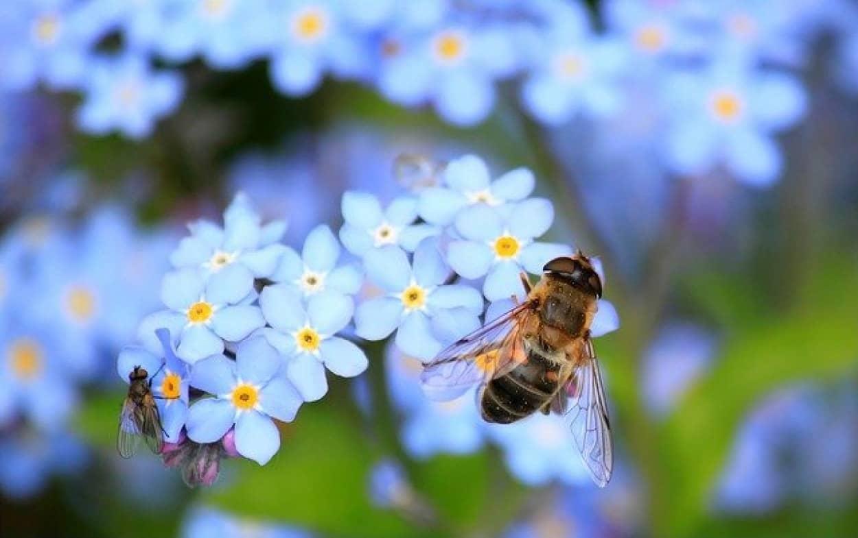 然界では珍しい青い花の存在はミツバチのおかげ