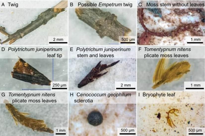 氷の中に入っていた植物の化石
