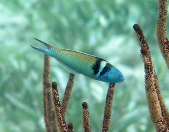 わずか10日間で性別を変える魚がいる。メスからオスへ、卵巣が精巣に再形成される魚
