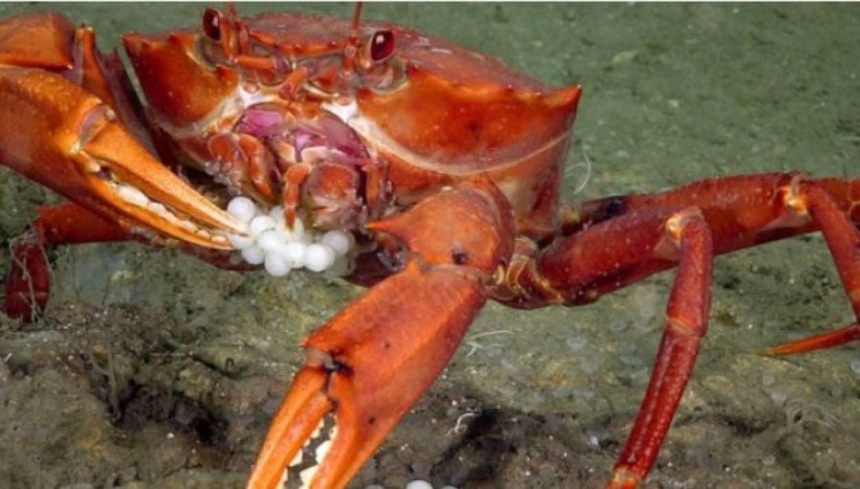 crab and fish eggs 4_e