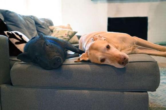 ミニじゃないと捨てられたミニブタがベストフレンドの犬に出会うまでの物語(アメリカ)