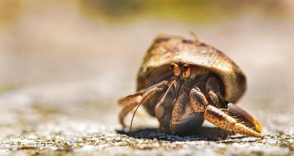大きな息子スティックを持つヤドカリほど、上等な貝殻を身につけている。その理由とは?(米研究)