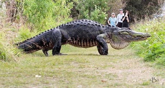 ちょっと通りますどころじゃないよ!フロリダ州で巨大ワニが出没(アメリカ)