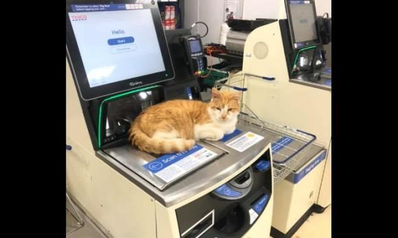 スーパーを出禁となったあの猫の続報。しれっと入り込み、セルフレジカウンターに座っていた模様(イギリス)