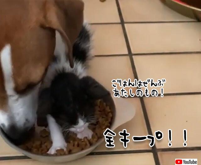 犬の餌を占拠した元野良の子猫