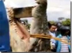 ギュスターブ?捕獲された世界最大級のワニ : カラパイア