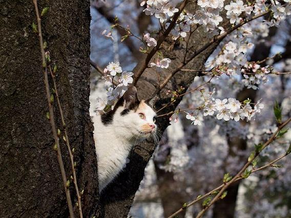 cherry_blossom_tree_cats_12