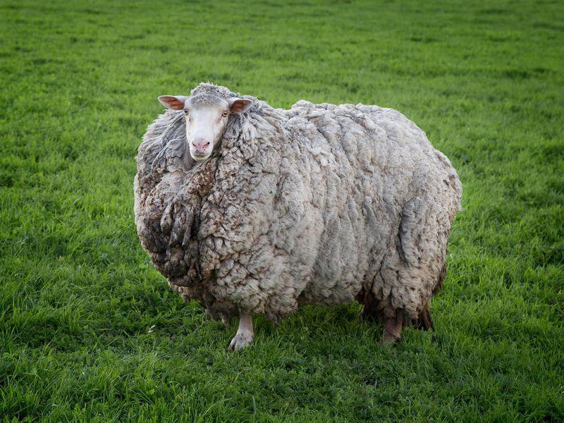 巨大化した羊