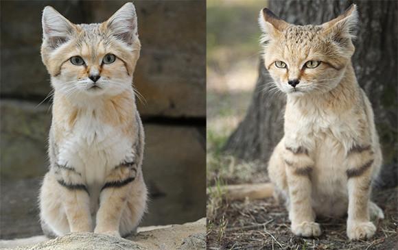 童顔の大成功例がここにある。猫界のピーターパン、スナネコ先輩にさらなるズームイン!