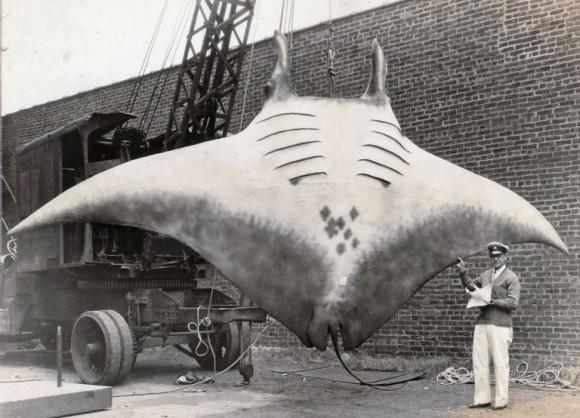 コラ?リアル?1933年の写真に写っている巨大なオニイトマキエイ(アメリカ)