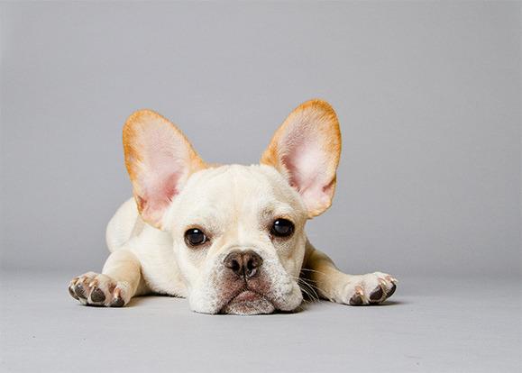 人はなぜ品種改良による遺伝子的疾患がある犬を飼いたがるのか?(デンマーク研究)