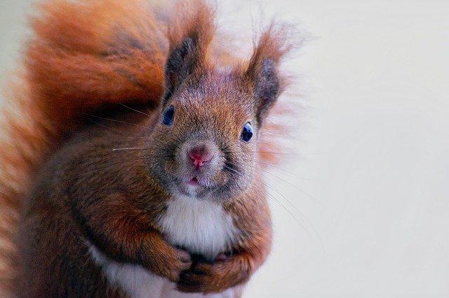 squirrel-3815235_640