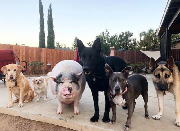 ブタの犬化は加速する。5匹の犬が仲間に認定したミニブタのチャウダーの犬っぷりがすごい(アメリカ)