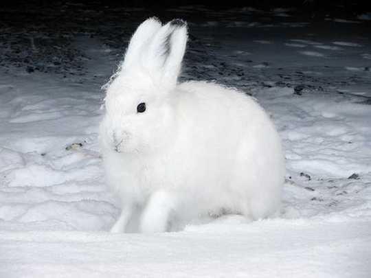 arctic-hares-1