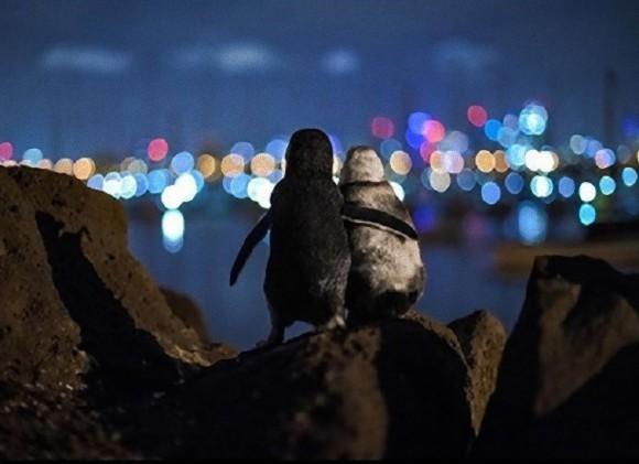 互いに独り身となってしまったペンギン同士が身を寄せ合うあの写真が最優秀作品賞を受賞(オーストラリア)
