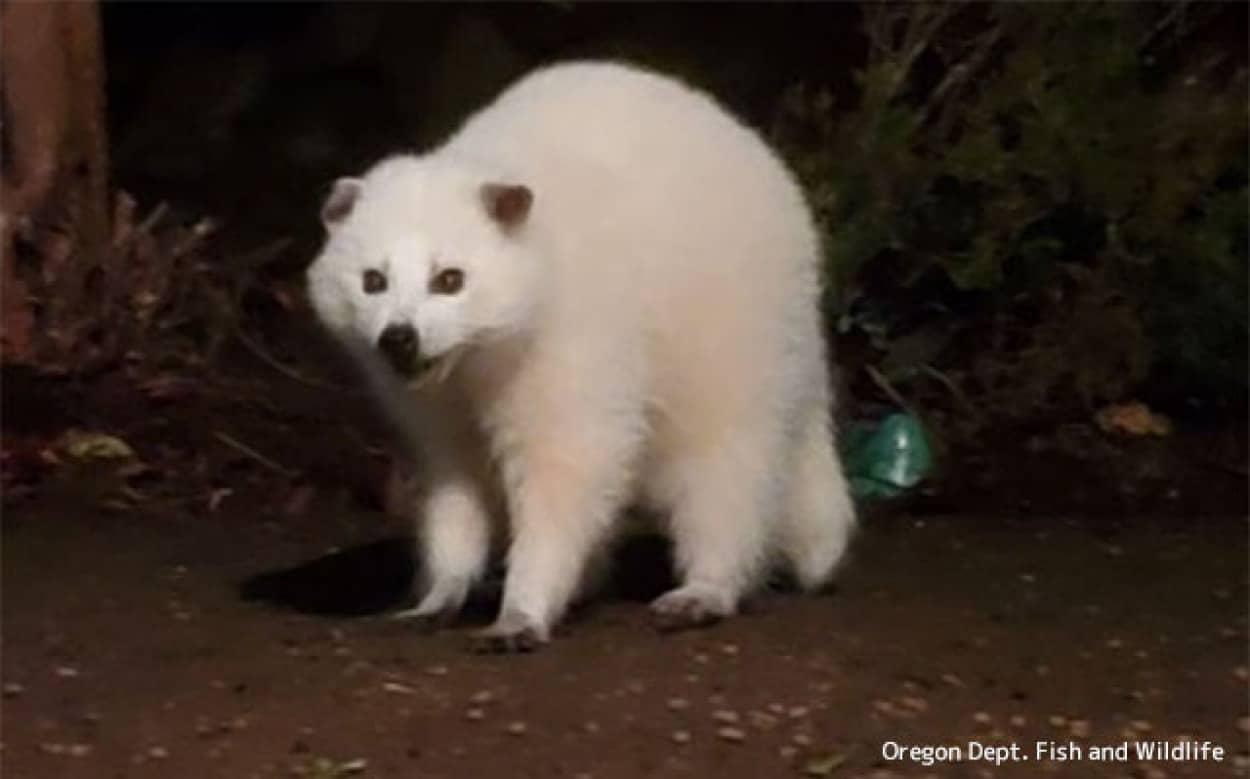 白変種のアライグマ