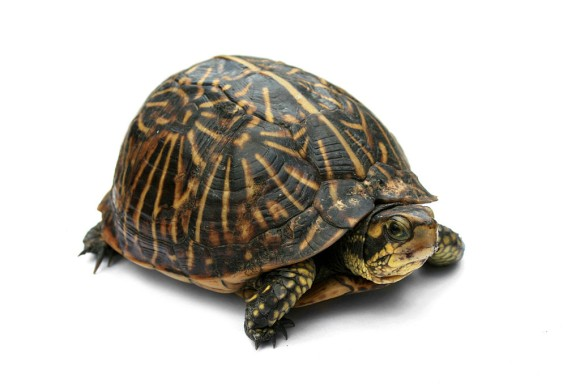 Box_Turtle_2